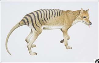 tasmanian tiger 324x205 10 Spesies Hewan yang Menakjubkan yang telah Punah