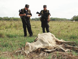 Policemen Hugo Sequeiro and Juan Francisco Canales stand close to the corpse of a dead cow in Los Chiles, Alajuela. (Photo: Carlos Hernandez / La Nacion)