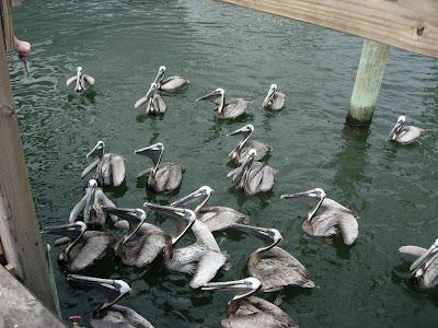 carlina beach marina pelican