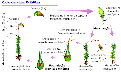 Ciclo de vida das brifitas