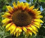 Golden Mean Sunflower