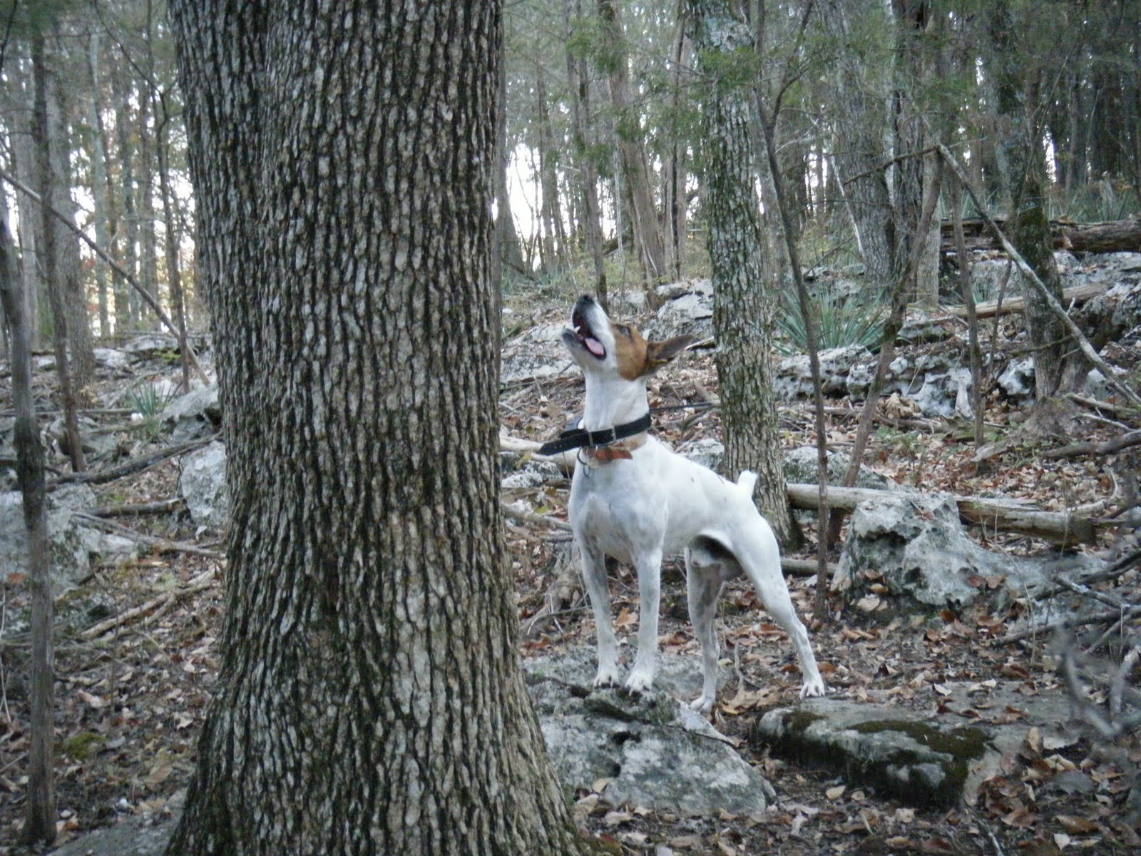 Feist Squirrel Dogs For Sale In Nc
