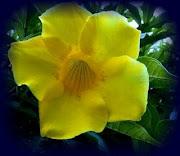 Flor Alamanda-blogue Memórias de Vidas Passadas