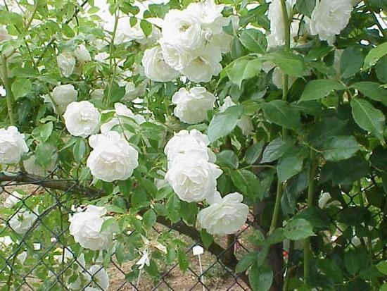 best favorite flowers in the world top 10 climbing roses. Black Bedroom Furniture Sets. Home Design Ideas