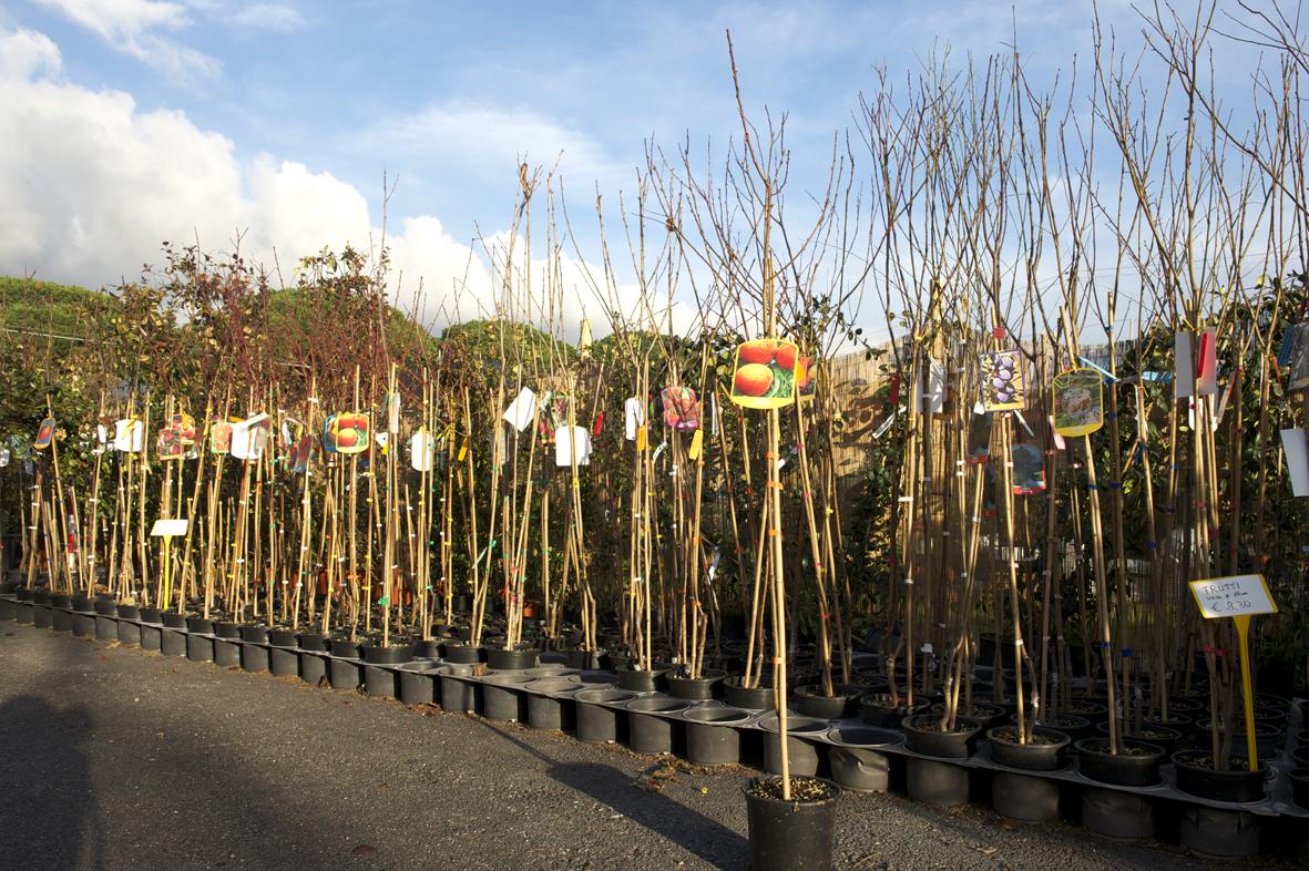 Bartoli garden alberi da frutto piantumazione e potatura for Quando piantare alberi da frutto