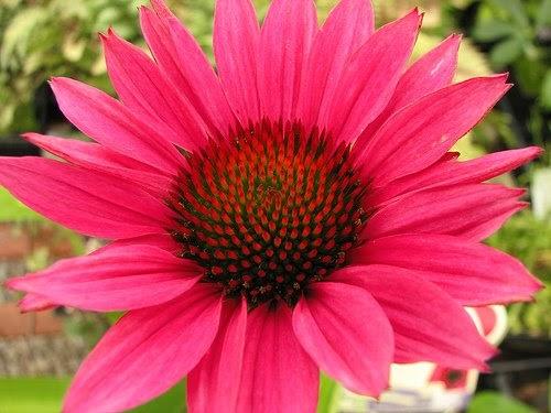 coneflower echinacea purpurea 39 fatal attraction 39. Black Bedroom Furniture Sets. Home Design Ideas