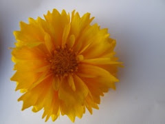 Coreopsis.info