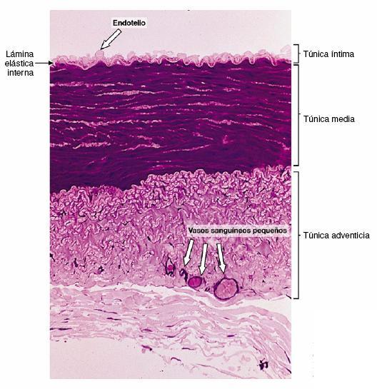 external image vasos+sanguineos+arteria+muscular.JPG
