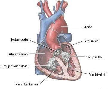 Katup dan ruang jantung