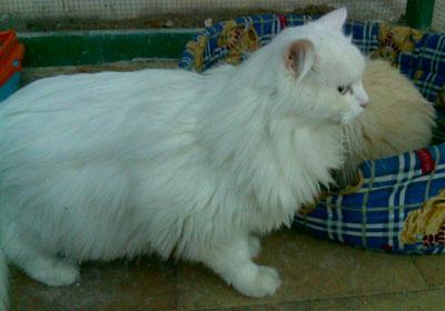 gatos persas en valencia: