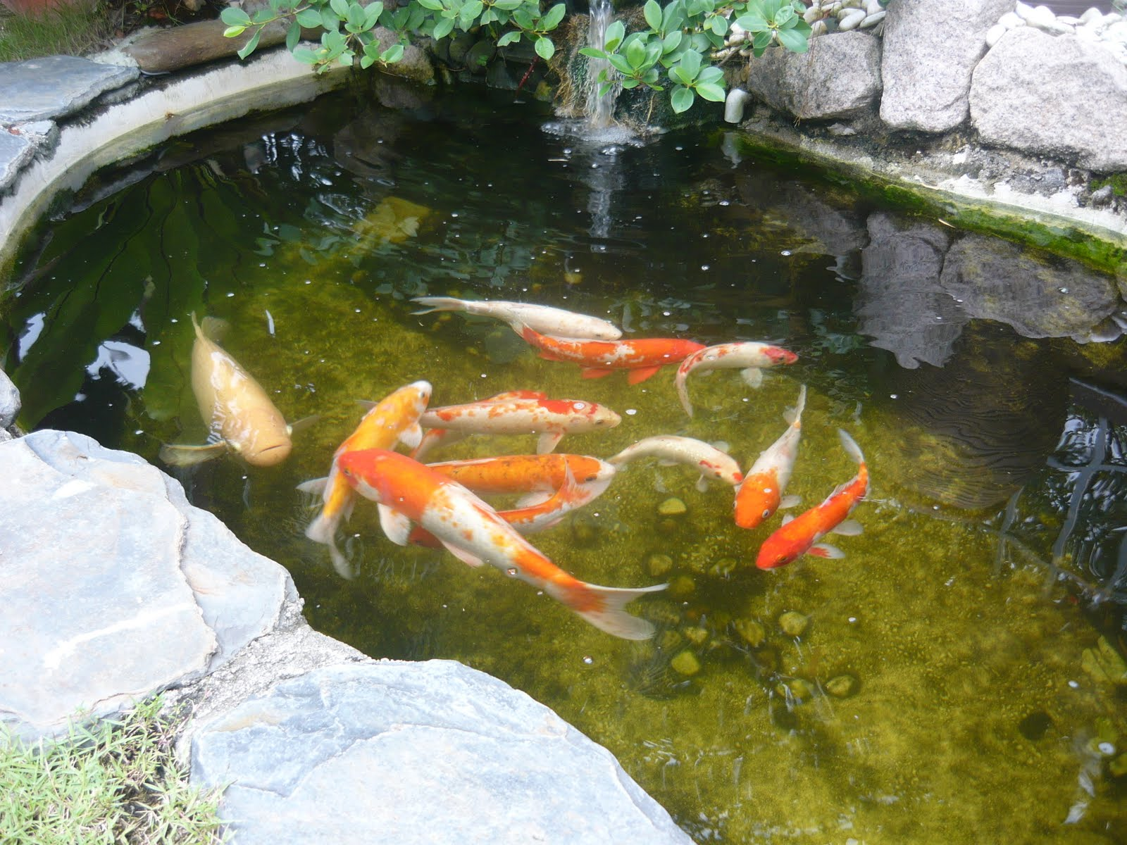 Of Colour Into A Garden Is By Keeping Koi Fish In A Garden Pond