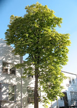 80 Year old chestnut trees are being cut down.