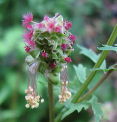 Gardens of Destiny - Dan Jason Click My Salad Burnet Flower↓