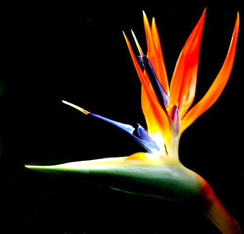 Bird-of-Paradise (flower)