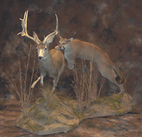 Mt Lion Chasing Mule Deer