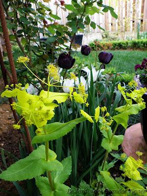 Le jardin des grandes vignes smyrnium perfoliatum - Le jardin des grandes vignes ...