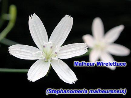 [10_Stephanomeria_malheurensis.jpg]