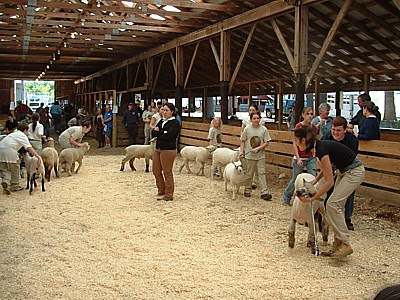 the 4 h sheep judging