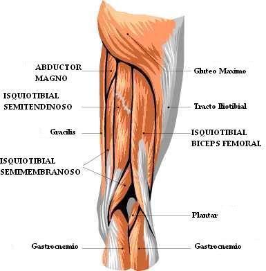 El Polit-Blog: Bíceps femoral, semitendinoso y semimembranoso