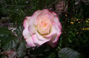 rosa de waly