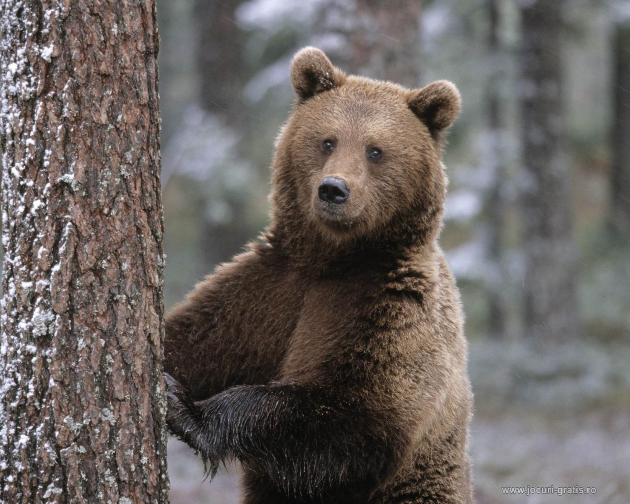 Why visit Romania?: Brown bear