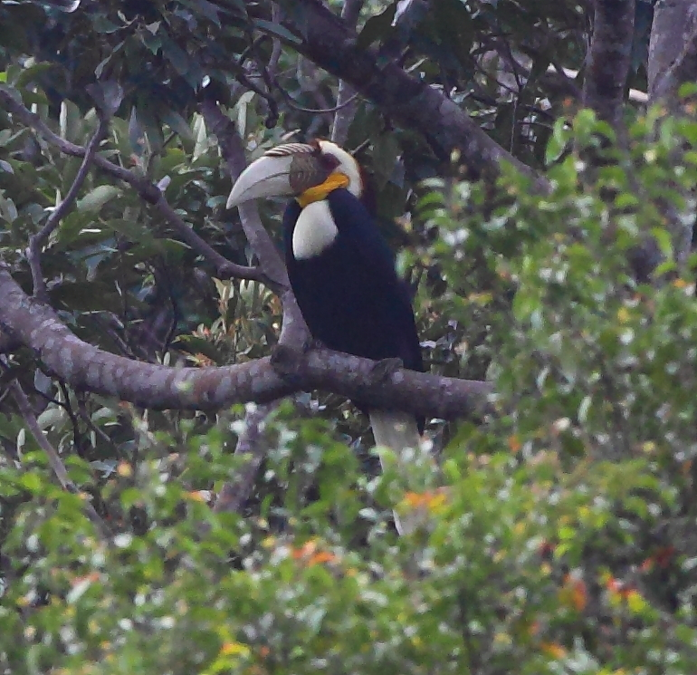 Wreathed Hornbill I D E A L S: Wr...