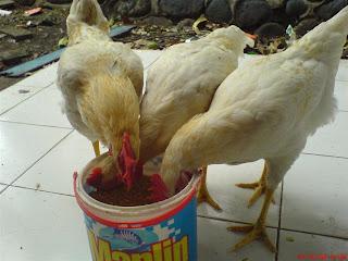 cara pembuatan pakan ternak ayam buras ayam buras atau ayam kampung