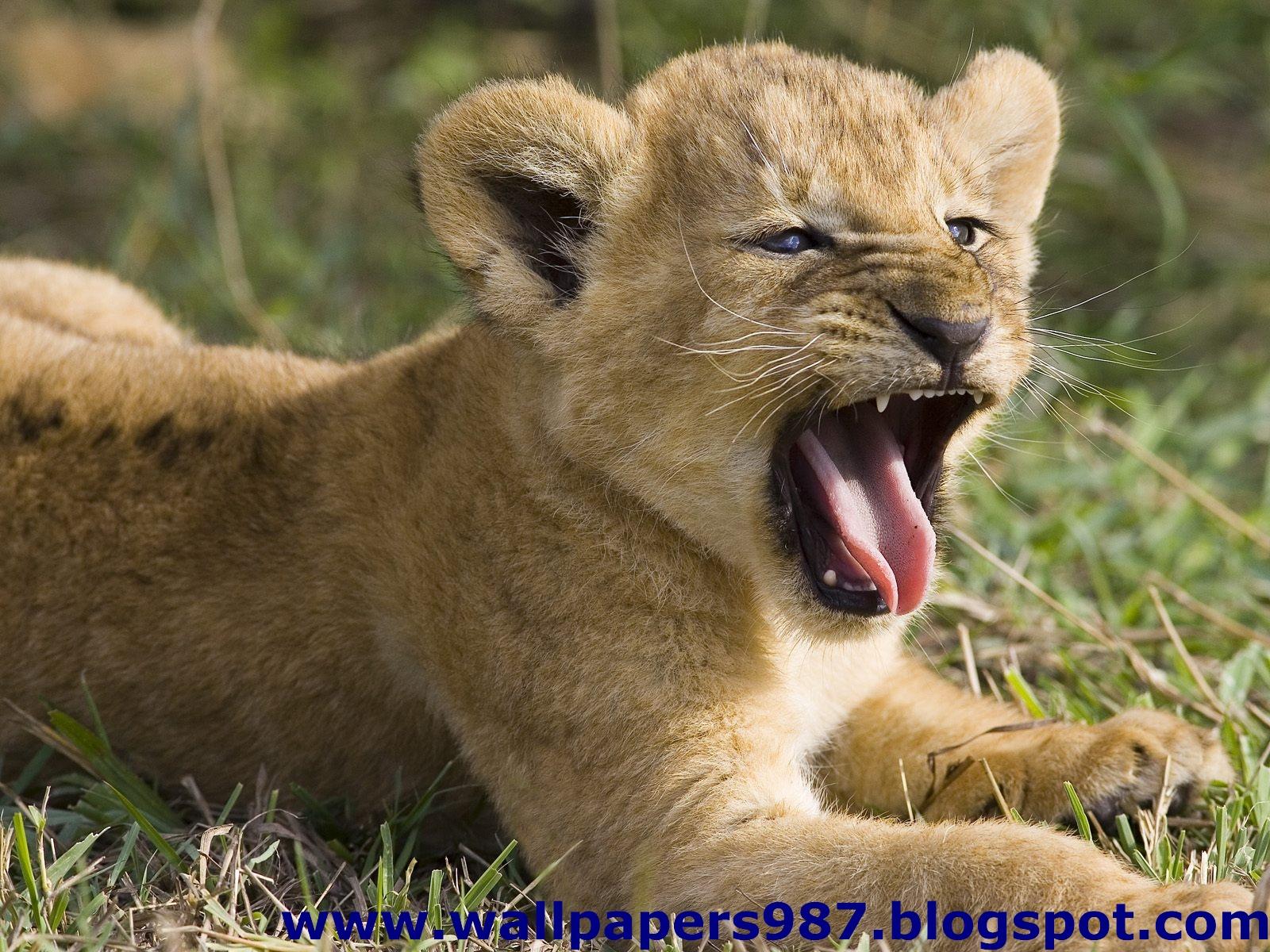 http://2.bp.blogspot.com/_SOSNZoTv8ng/TQYVr-yO2mI/AAAAAAAAAHE/um1IesAz4ws/s1600/windows_masaustu_arka_plan_resimleri_vahsi_kediler_aslan_kaplan_HD_HQ_Full_Animal.+Pic+%252870%2529.jpg