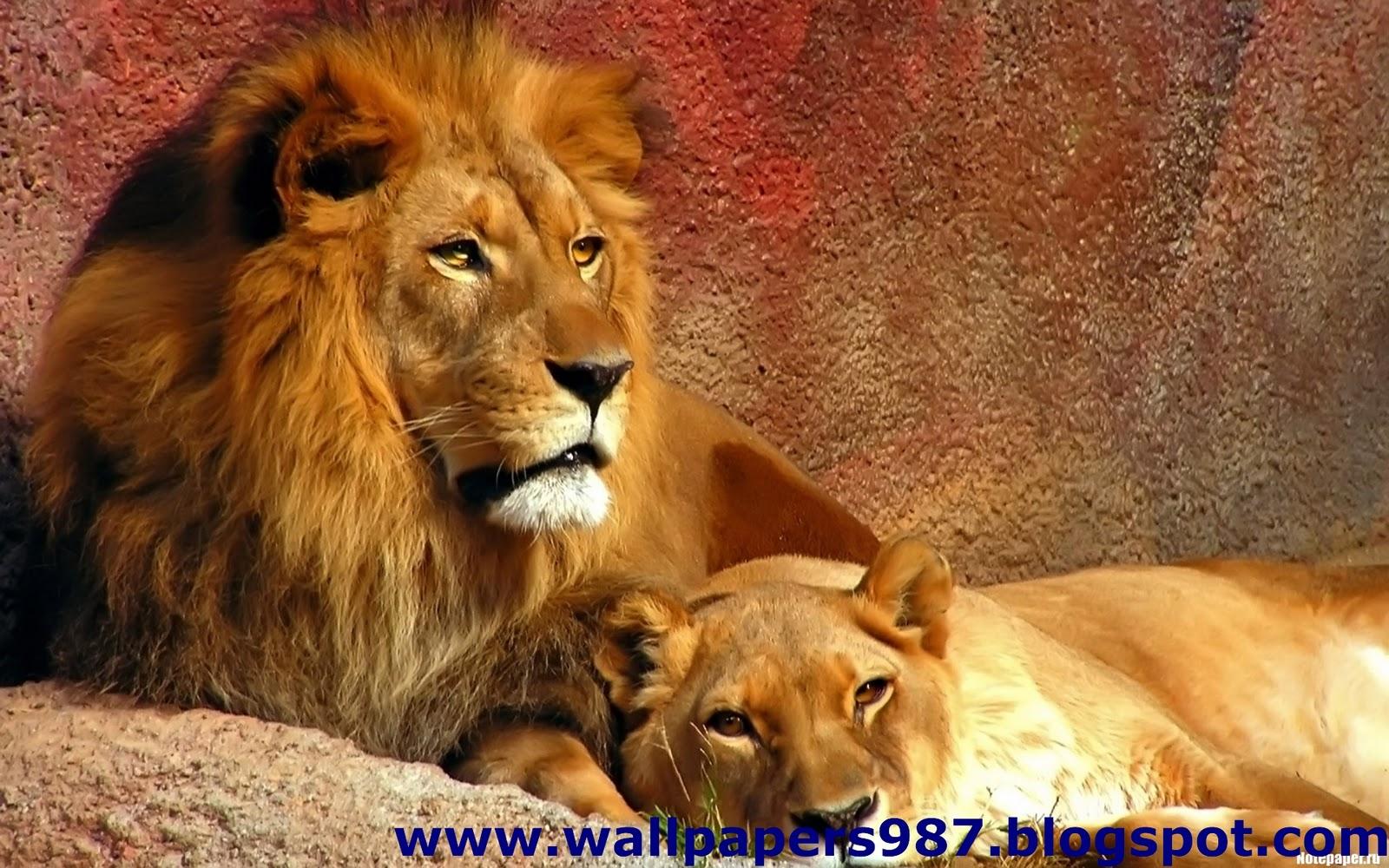 http://2.bp.blogspot.com/_SOSNZoTv8ng/TQYWUD5HCSI/AAAAAAAAAHQ/PuPc7dCXY3o/s1600/windows_masaustu_arka_plan_resimleri_vahsi_kediler_aslan_kaplan_HD_HQ_Full_Animal.+Pic+%252894%2529+%25281%2529.jpg