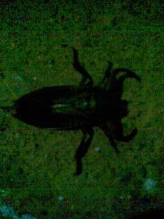 [Cucaracha%20d%20agua[2]]