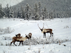 """Yukon Territory Caribou"""