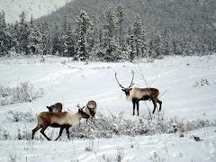 """""""Yukon Territory Caribou"""""""