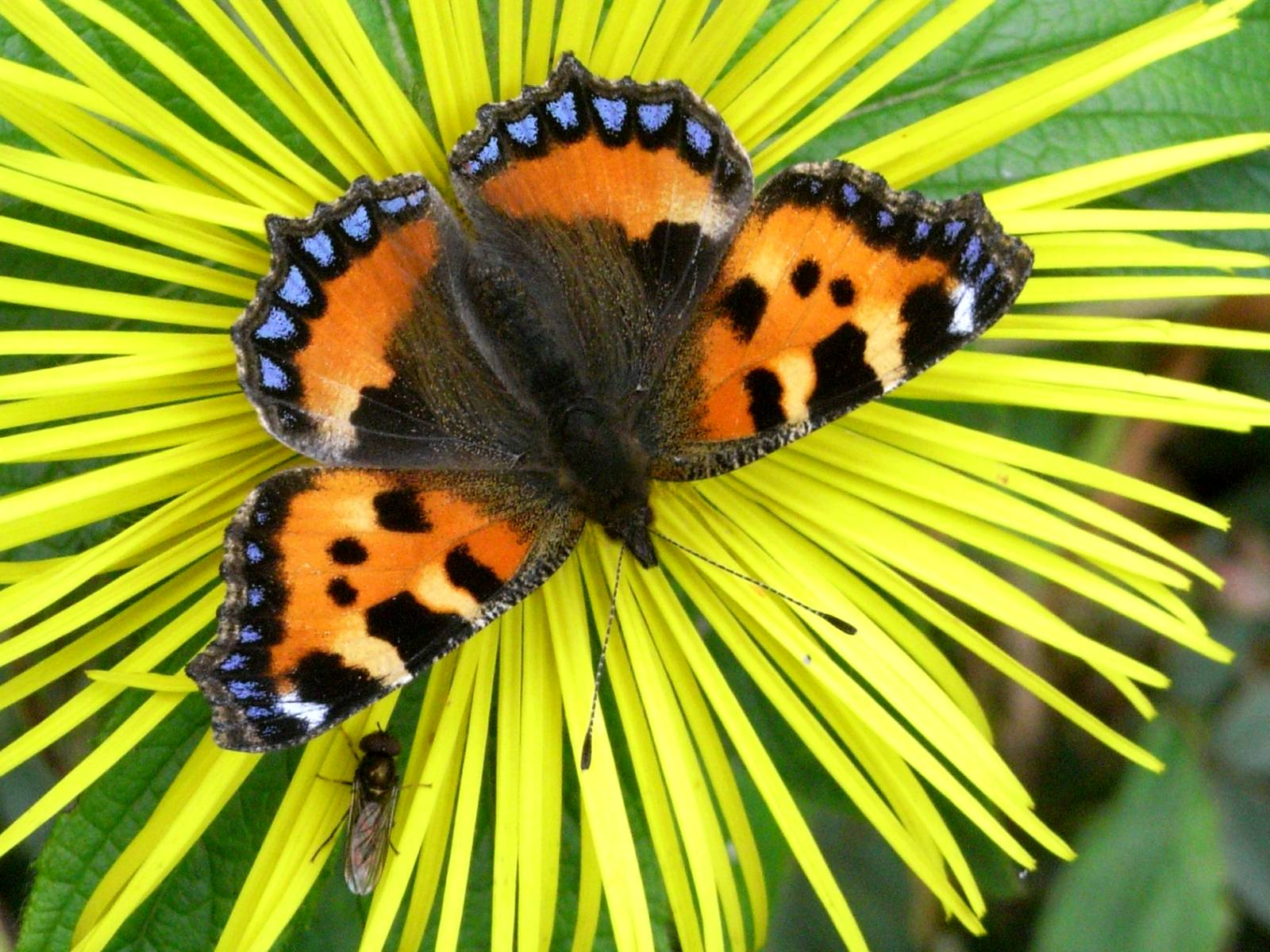 Small Tortoiseshell Butterfly Wallpapers, Beautiful Butterfly Wallpapers, Butterfly Wallpapers, Butterfly Pictures