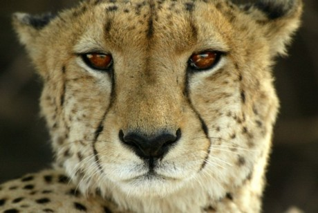 Afrika - Page 17 Animals-cheetah-close-up-african-safari-w-michael-poliza-b