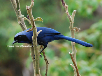Black-collared Jay- Urraca