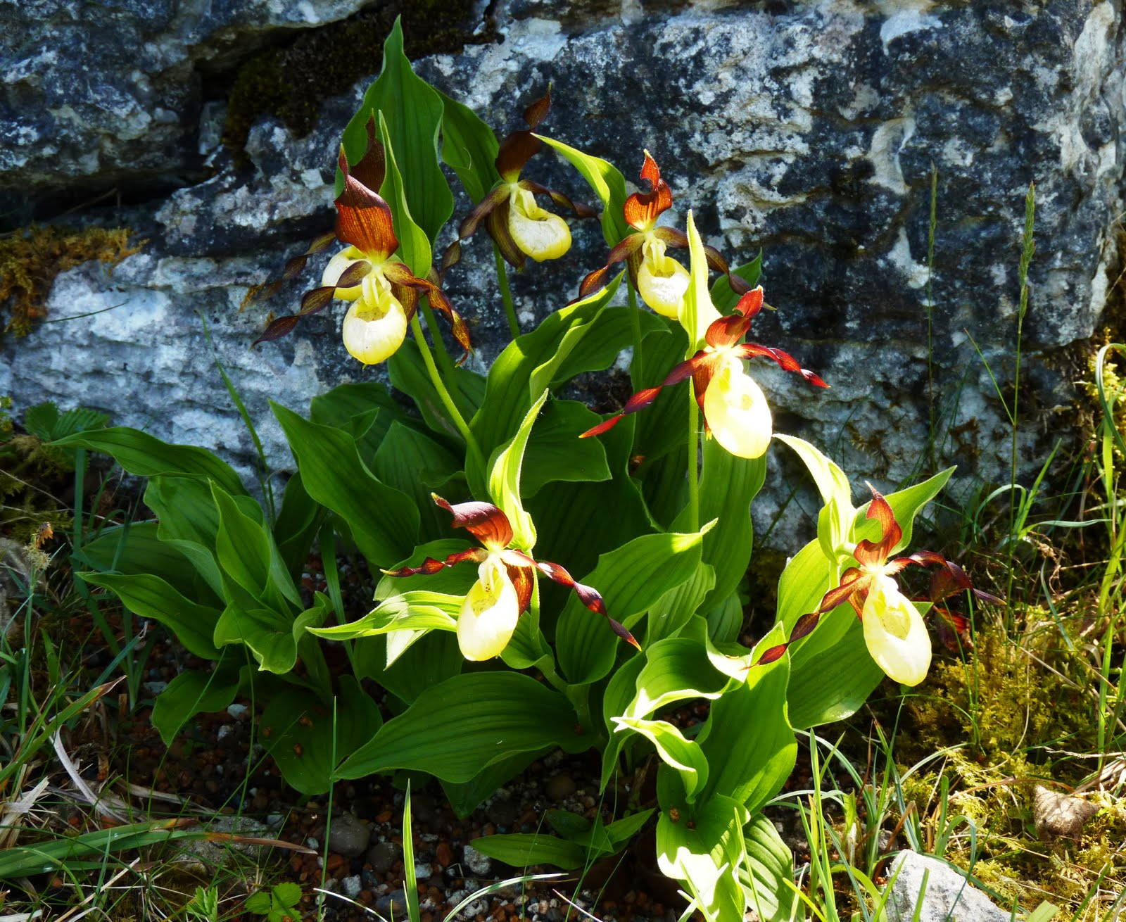 Lady's-slippers orchids.
