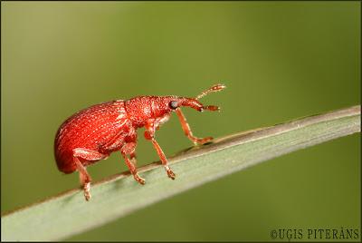 Sīksmecernieks (Apion haematodes)
