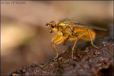 Mēslmuša (Scatophaga stercoraria)