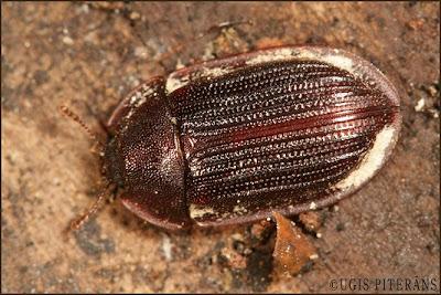 Brūnais asmalis (Ostoma ferruginea)