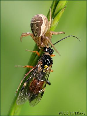 Krabjzirneklis (Xysticus sp.) ar zāģlapseni