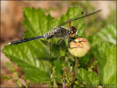 Raibgalvas purvspāre (Leucorrhinia albifrons)