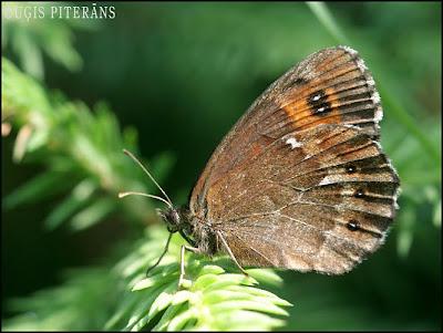 Sila brūnulis (Erebia ligea)