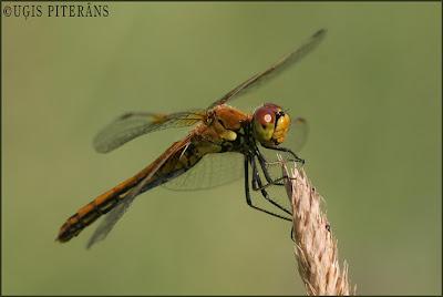 Dzeltenā klajumspāre (Sympetrum flaveolum)