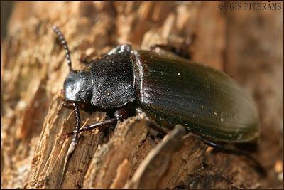 Melnulis (Neatus picipes)