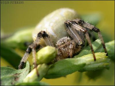 Krusta zirneklis (Araneus quadratus)