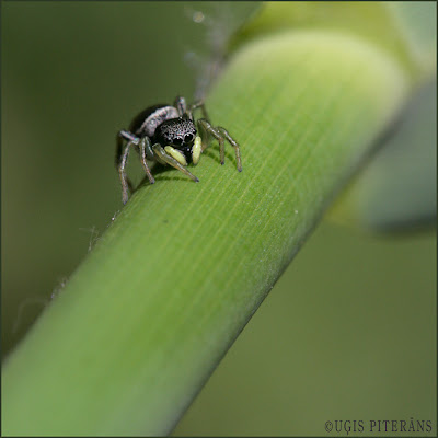 Lēcējzirneklis (Heliophanus cupreus)