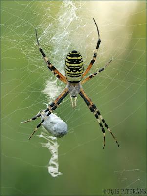 Lapseņveida zirneklis (Argiope bruennichi)