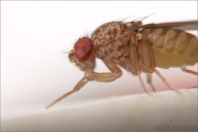 Augļu mušiņa jeb drozofila (Drosophila melanogaster)