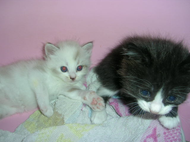 Anak Kucing Angora