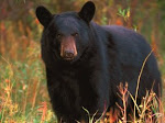 BLACK BEAR, NOTING YOUR PRESENCE